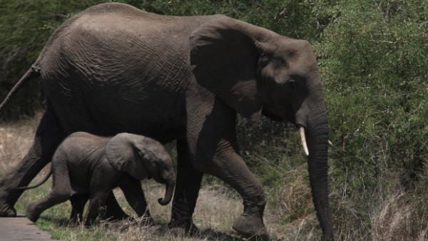 Baby elephant Africa dies after being poisoned