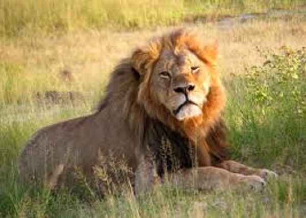 'Cecil Effect' dangerous for lions, guides