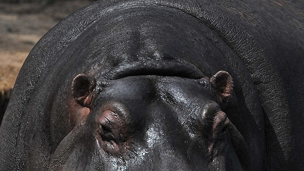 Hippo kills migrants near Zimbabwe border