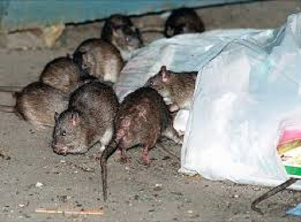 Prisoners trapping rats for food zimdaily - Trappen rots ...